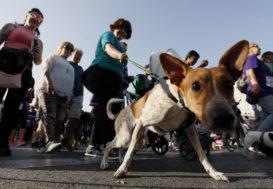 La mairie de Madrid souhaite identifier génétiquement les chiens